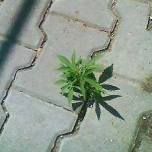 cannabis-plant-thumb