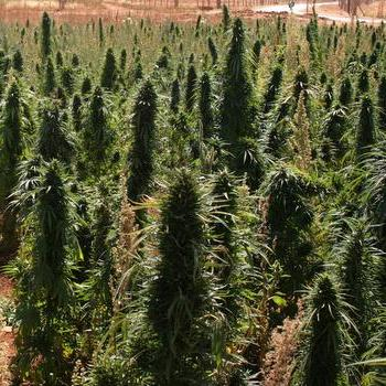 cannabis-forest-thumb