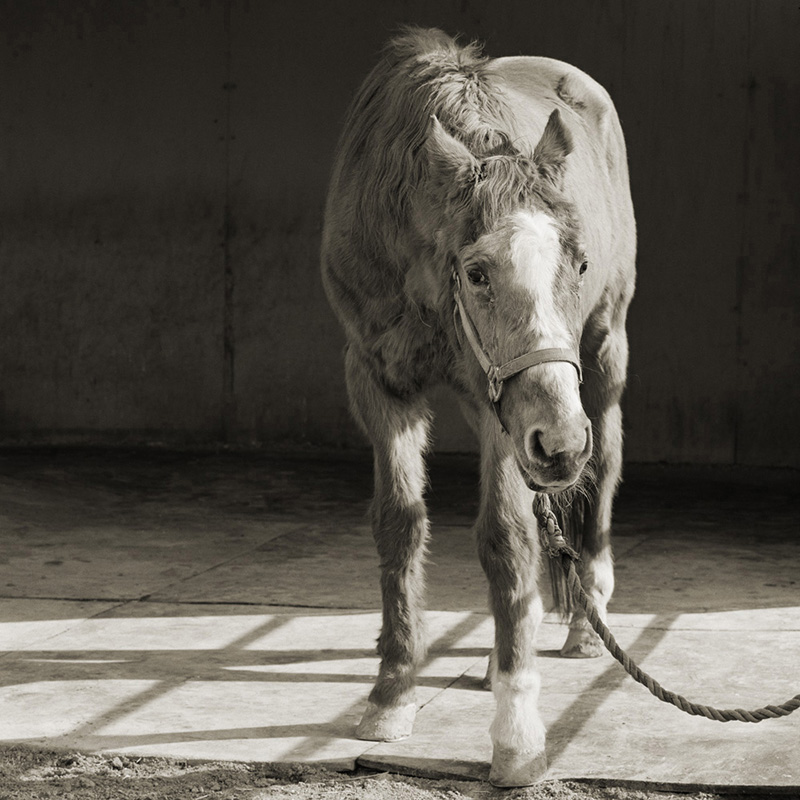 """""""הנדסום וואן"""", סוס בן 33"""