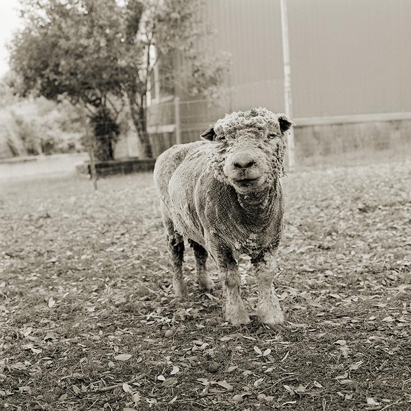 """""""פיליס"""", כבשה בת 13"""