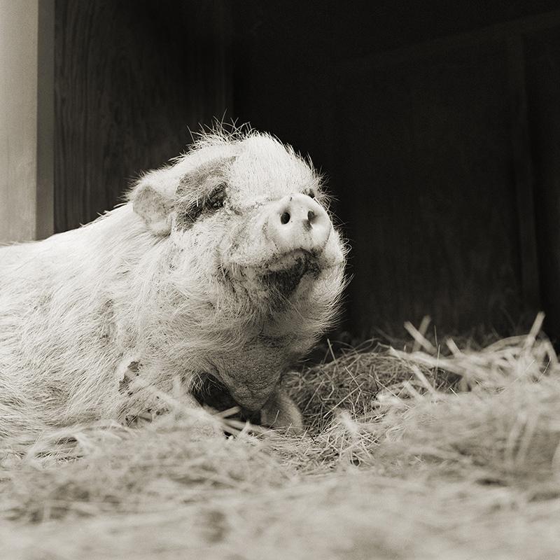 """""""ויולט"""", חזירה בת 12"""