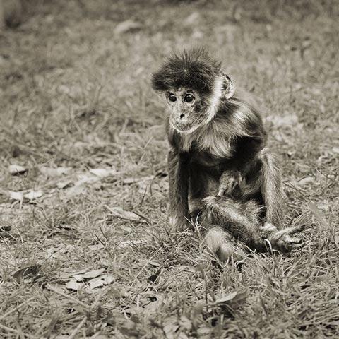 קוף קפוצ'ין בן למעלה מ-30
