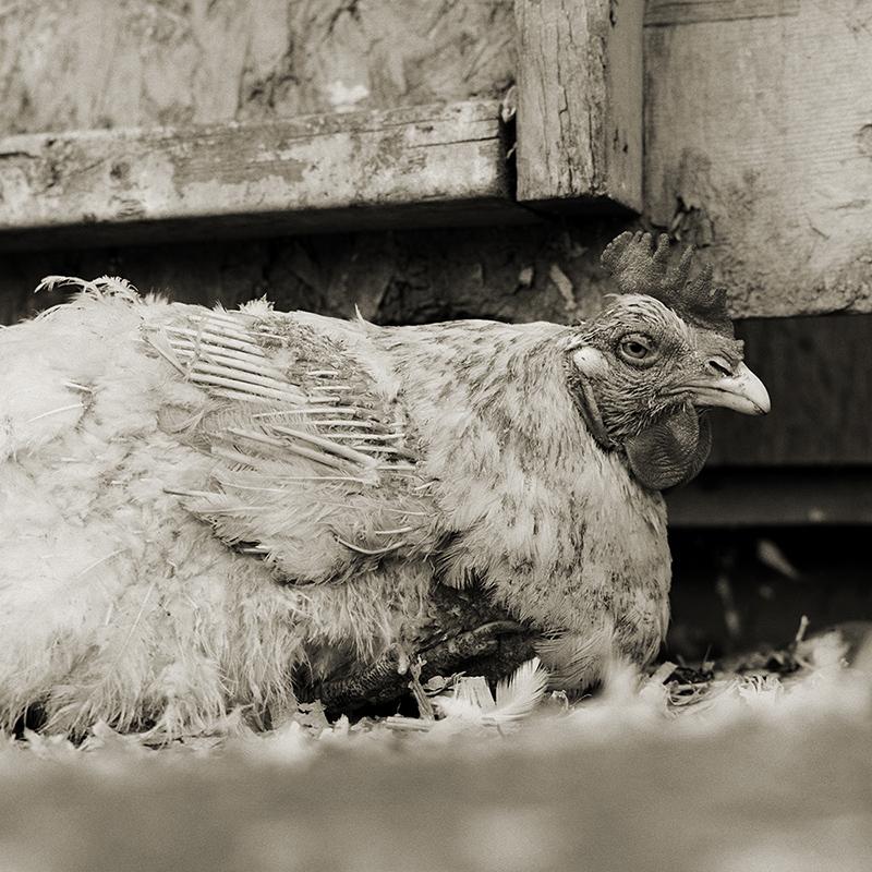 תרנגול, גיל לא ידוע