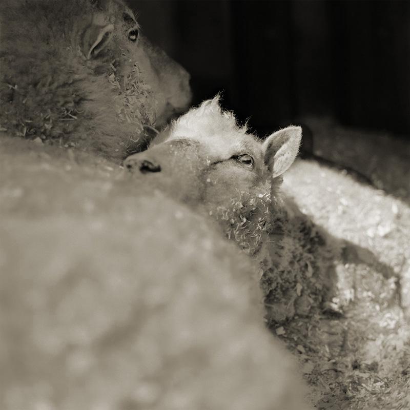 שתי כבשים בנות 12