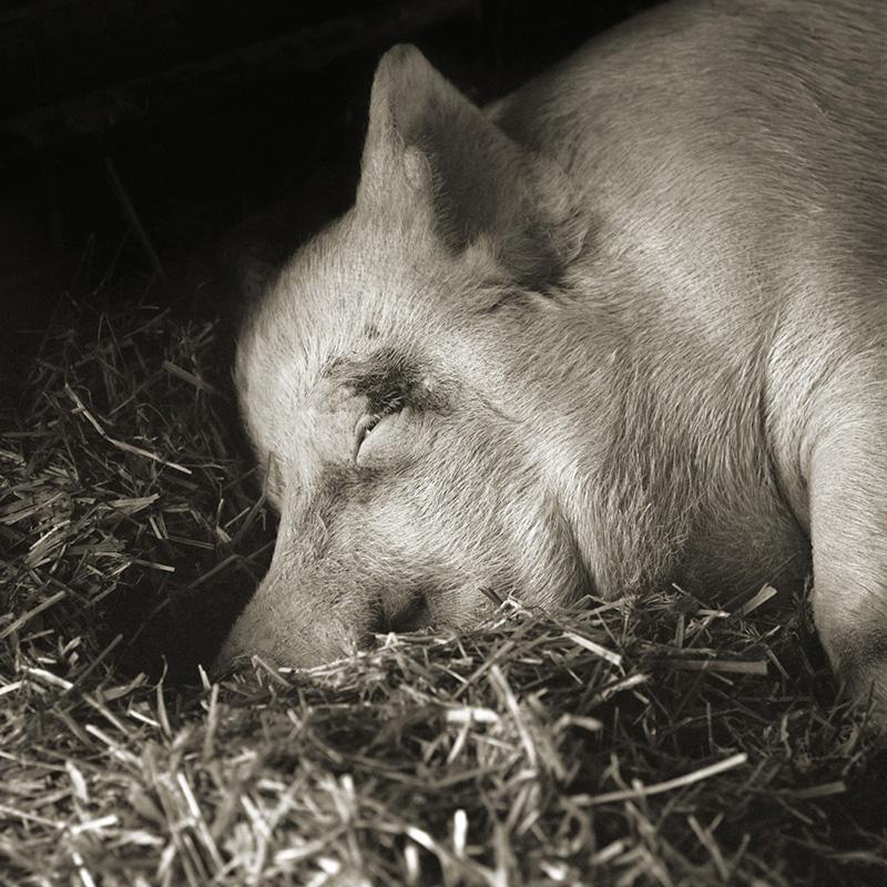 """""""תרזה"""", חזירה בת 13"""