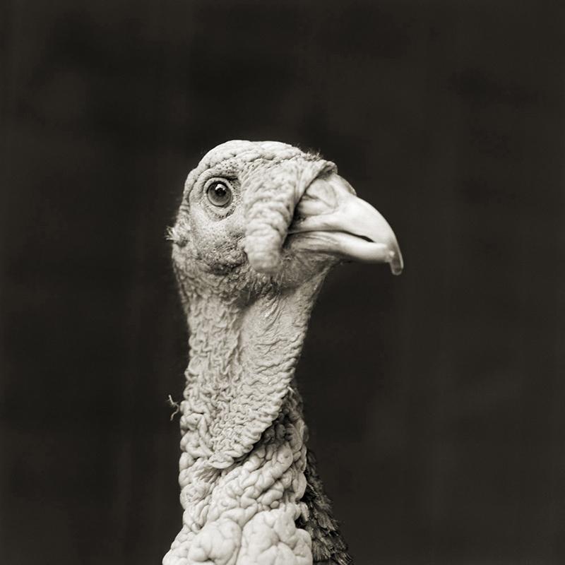 """""""מרינו"""", תרנגול הודו בן 5"""