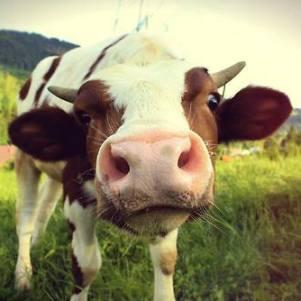 cow-thumb