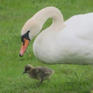 swan-ugly-duckling-thumb