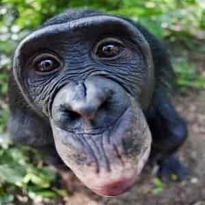 bonobo-thumb