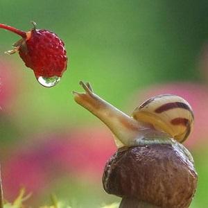 snail-berry-thumb