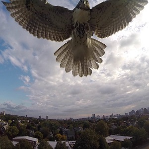 hawk-thumb