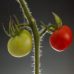 green-and-red-tomato-thumb